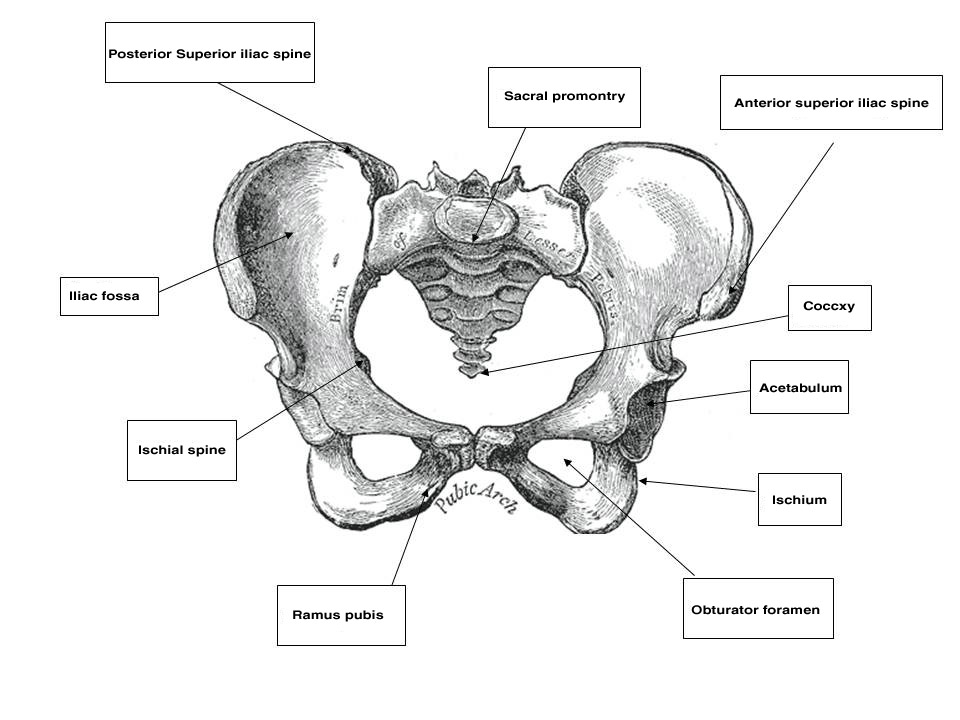 clinical anatomy of the vulva  vagina  lower pelvis  and