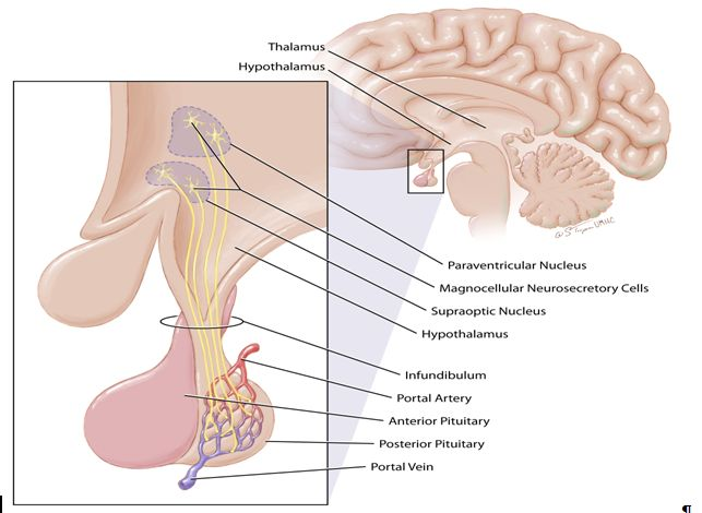 Is Vasopressin Whats Lacking In Brains >> The Posterior Pituitary Pathway Glowm