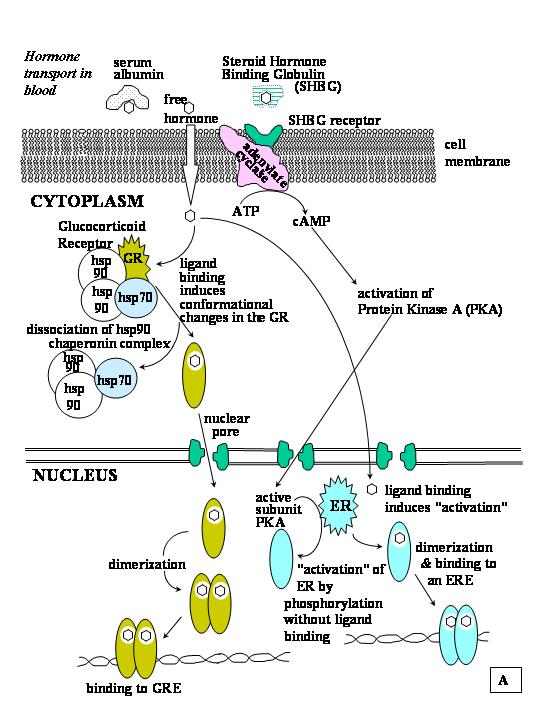 What happens when steroid hormones bind to their receptors golden dragon yelm kathy